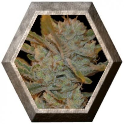 Oxus 1 semilla Exclusive Seeds