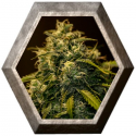 CBD Jack Diesel 1 semilla Positronics Seeds