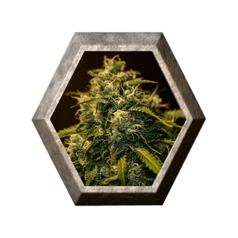 CBD Jack Diesel 1 semilla Positronics Seeds POSITRONIC SEEDS POSITRONICS SEEDS