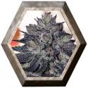 Gordo Master Kush 6 semillas Positronics Seeds