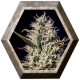 One Love Haze 6 semillas Positronics Seeds POSITRONIC SEEDS POSITRONICS SEEDS