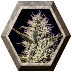 One Love Haze 6 semillas Positronics Seeds