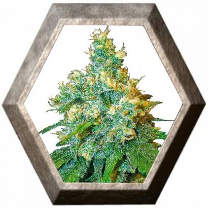 Jack Herer 3 semillas Sensi Seeds