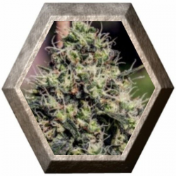 Lemon Trip 5 semillas Positronics Seeds