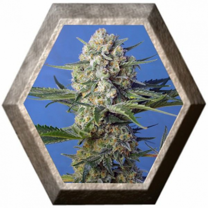 Crystal Candy F1 Fast Version 3 semillas Sweet Seeds