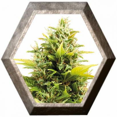 Medikit Auto CBD 1 semilla Buddha Seeds