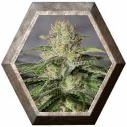 OG Kush CBD 3 semillas Medical Seeds