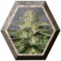 OG Kush CBD 3 semillas Medical Seeds MEDICAL SEEDS MEDICAL SEEDS