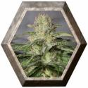 OG Kush CBD 3 semillas Medical Seeds