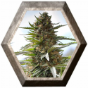 Over Dawg 3 semillas Medical Seeds