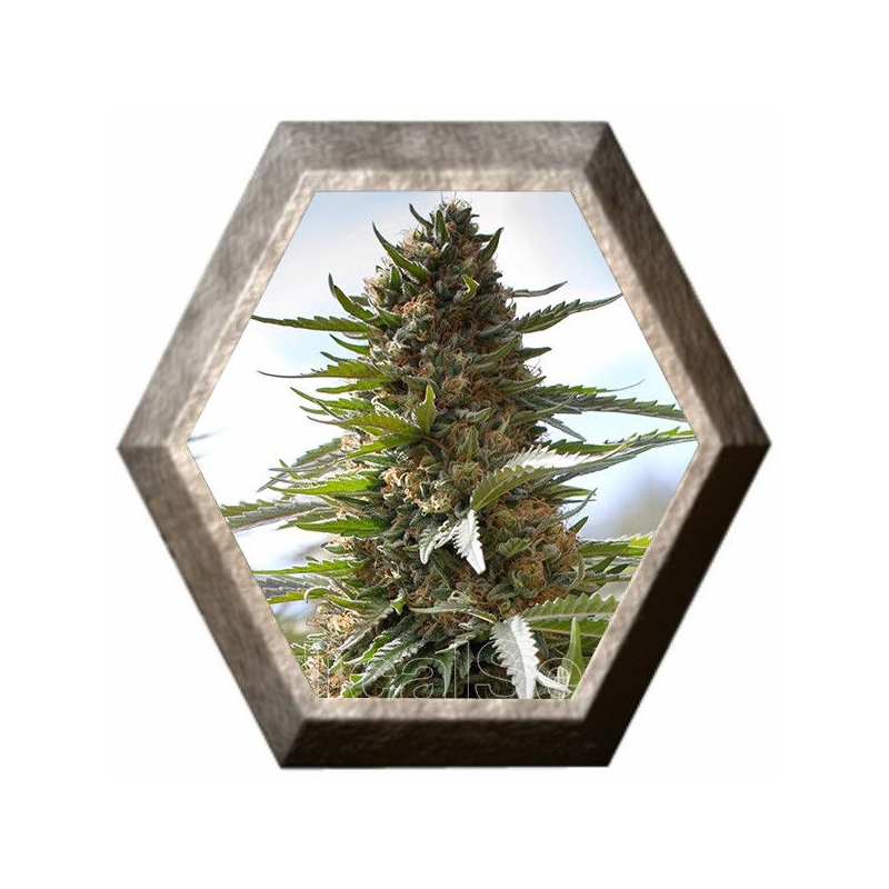 Over Dawg 3 semillas Medical Seeds MEDICAL SEEDS MEDICAL SEEDS