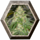 Some Sweet 3 semillas Medical Seeds MEDICAL SEEDS MEDICAL SEEDS