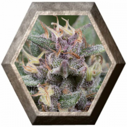 Blue Hell Auto 3 semillas Medical Seeds MEDICAL SEEDS MEDICAL SEEDS