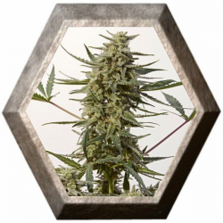 Critical 47 Express 5 semillas Positronics Seeds
