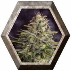 Sticky Dream 5 semillas Positronics Seeds