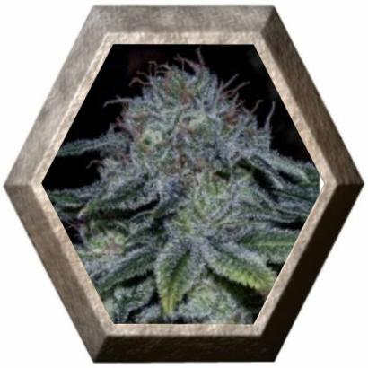 Mystic Cookie 5 semillas Positronics Seeds POSITRONIC SEEDS POSITRONICS SEEDS