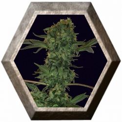 Big Buddha Cheese Auto 5 semillas Big Buddha Seeds