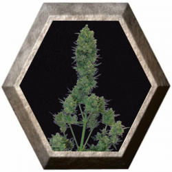 Blue Cheese Auto 5 semillas Big Buddha Seeds
