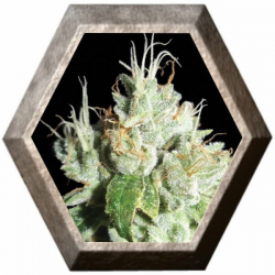 Black Cheese 5 semillas Big Buddha Seeds