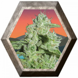 California Orange Cheese 5 semillas Big Buddha Seeds