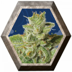 Cherry Moon Pie 5 semillas Big Buddha Seeds