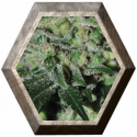 Double Cheese 5 semillas Big Buddha Seeds