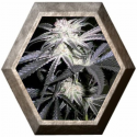 Peyote Purple Cannabiogen
