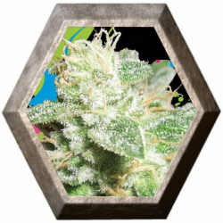 Head Cheese 5 semillas Big Buddha Seeds