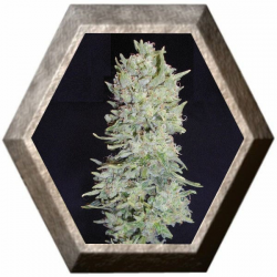 Hindu Cream 5 semillas Big Buddha Seeds