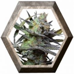 King Kong 5 semillas Big Buddha Seeds