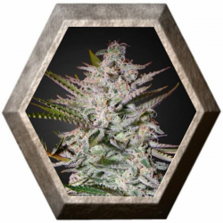 Holy Punch 3 semillas Green House Seeds