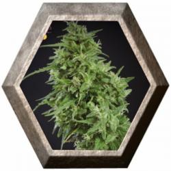 Amnesia Haze Ultra CBD 3 semillas Elite Seeds ELITE SEEDS ELITE SEEDS