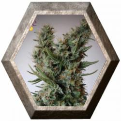 Jack Ultra CBD 3 semillas Elite Seeds ELITE SEEDS ELITE SEEDS