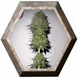 Meganuska 3 semillas Elite Seeds ELITE SEEDS ELITE SEEDS
