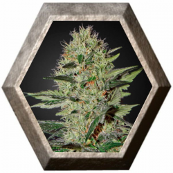 Exodus Cheese Auto 1 semilla Green House Seeds