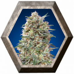 California Kush 5 semillas 00 Seeds Bank 00 SEEDS BANK 00 SEEDS BANK