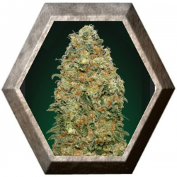 White Widow 5 semillas 00 Seeds Bank 00 SEEDS BANK 00 SEEDS BANK
