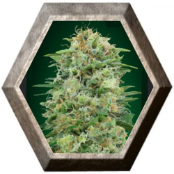 White Widow CBD 5 semillas 00 Seeds Bank 00 SEEDS BANK 00 SEEDS BANK