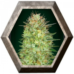 Auto Sweet Critical 5 semillas 00 Seeds Bank 00 SEEDS BANK 00 SEEDS BANK