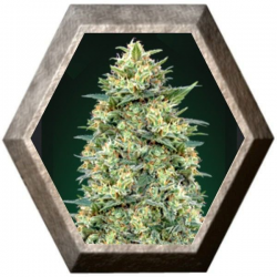 Auto White Widow 5 semillas 00 Seeds Bank 00 SEEDS BANK 00 SEEDS BANK