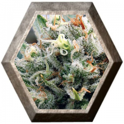 Supreme Lemon 3 Semillas Vision Seeds