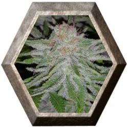 Toro blanco 1 semilla Paisa Grow Seeds