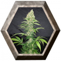 Colombian Fruit 1 semilla Paisa Grow Seeds