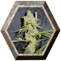 Superchoco 1 semilla Paisa Grow Seeds