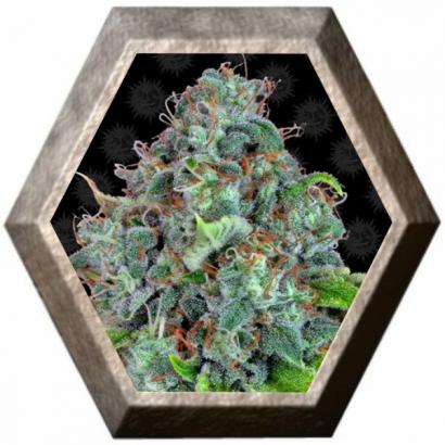 Strawberry Lemonade 1 semilla Barney´s Farm Seeds BARNEY´S FARM SEEDS BARNEY´S FARM