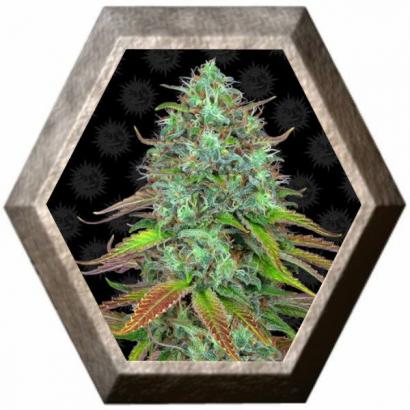 LSD Auto 1 semilla Barney's Farm Seeds BARNEY´S FARM SEEDS BARNEY´S FARM