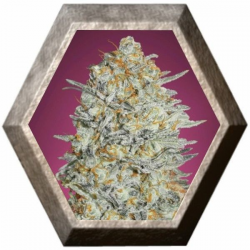 Gelato 33 3 semillas Advanced Seeds ADVANCED SEEDS ADVANCED SEEDS