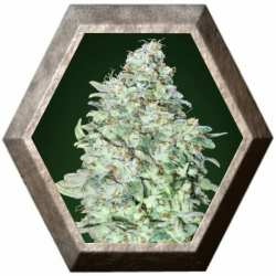 OG Kush S.F.V. 3 semillas Advanced Seeds ADVANCED SEEDS ADVANCED SEEDS