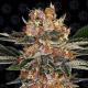 Purple Punch 1 semilla Barney´s Farm Seeds BARNEY´S FARM SEEDS  BARNEY´S FARM