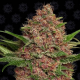 Purple Punch Auto 1 semilla Barney´s Farm Seeds BARNEY´S FARM SEEDS  BARNEY´S FARM